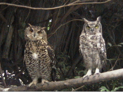 Cape and Spotted Eagle-Owls