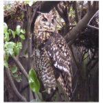 Cape Eagle Owl