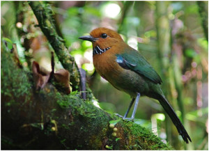Rufous-headed Ground-roller is one of Madagascar's sought-after birds (Photo by Mike Nelson/Birding Ecotours)