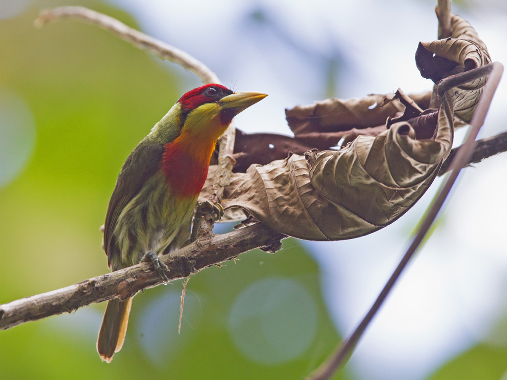 The immaculately coloured Lemon-throated Barbet Photo © Niall Perrins