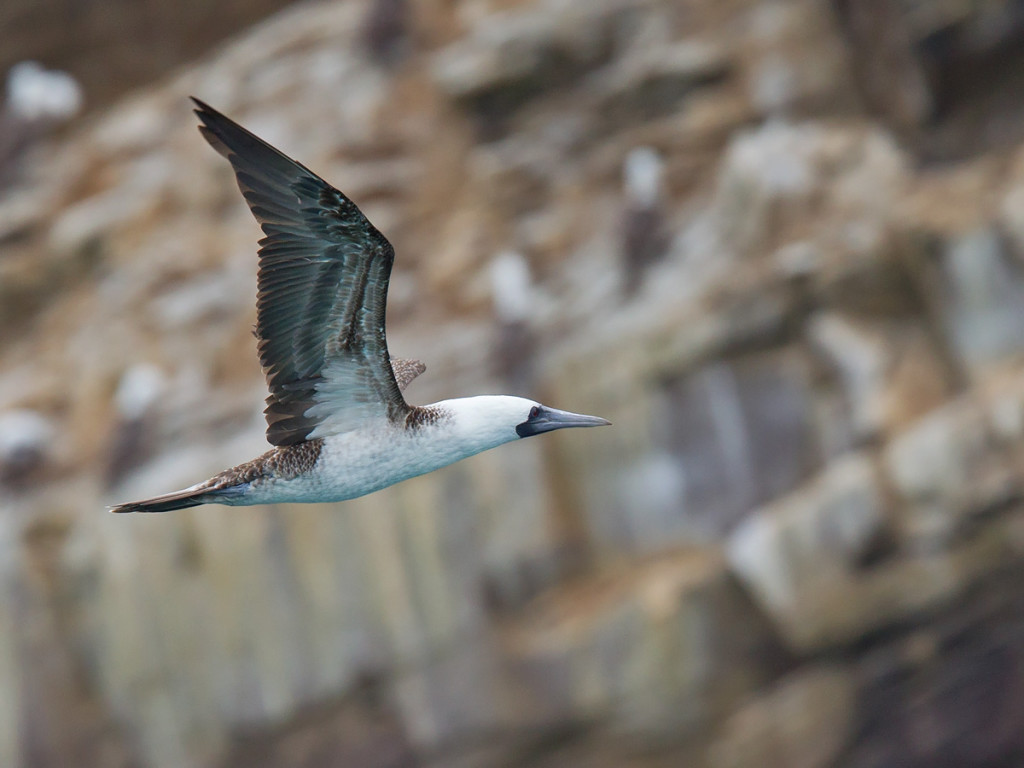 A Peruvian Booby flying alongside the cliffs they breed on, off Pucasana Photo © Niall Perrins
