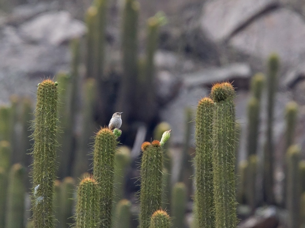 Cactus Canastero is a restricted Endemic in Peru. What a great bird! Photo © Niall Perrins