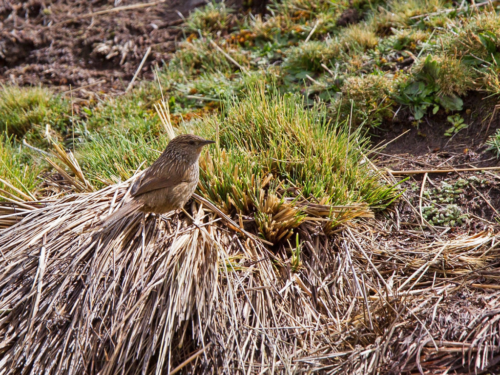 The Junin Canastero is another uncommon Endemic found only in high-elevation grasslands Photo © Niall Perrins
