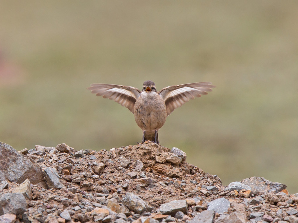 A great display from a Bar-winged Cinclodes Photo © Niall Perrins