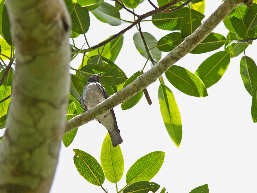 The uncommon Black-faced Cotinga Photo © Niall Perrins