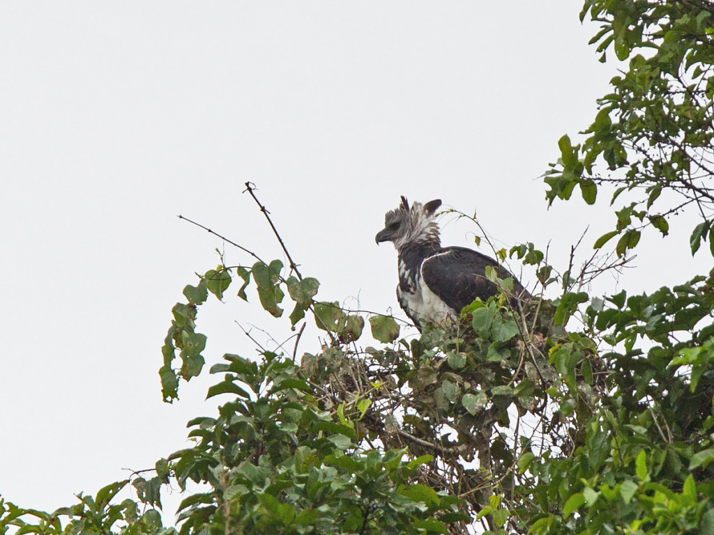 The legendary Harpy Eagle Photo © Niall Perrins