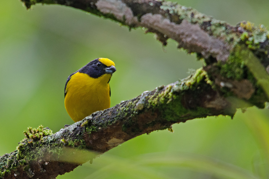 Some good views of Thick-billed Euphonia were had! Photo © Dylan Vasapolli