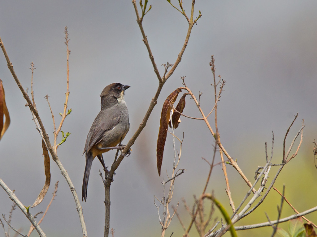 The Rusty-bellied Brush Finch is characteristic of the Andes. Photo © Niall Perrins