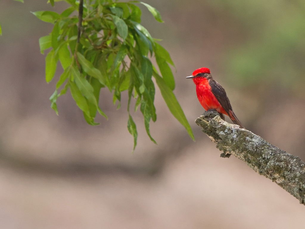 Albeit common, the male Vermilion Flycatcher is truly exquisite! Photo © Niall Perrins