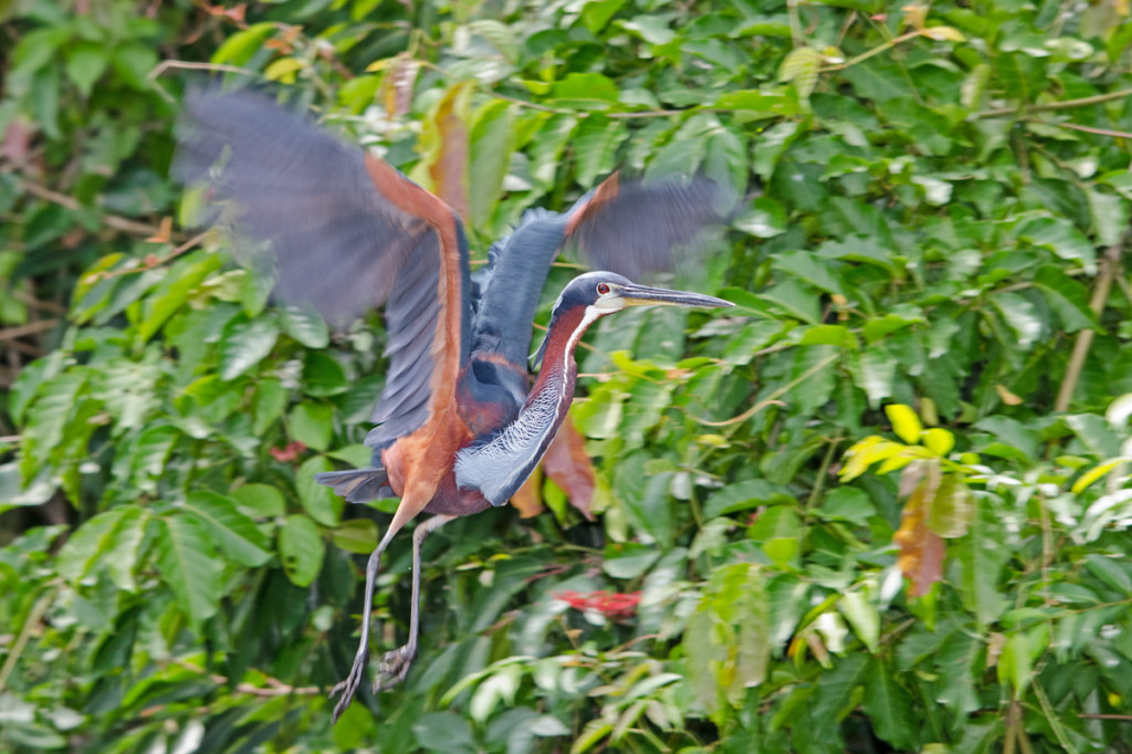 Our breathtaking Agami Heron Photo © Dylan Vasapolli