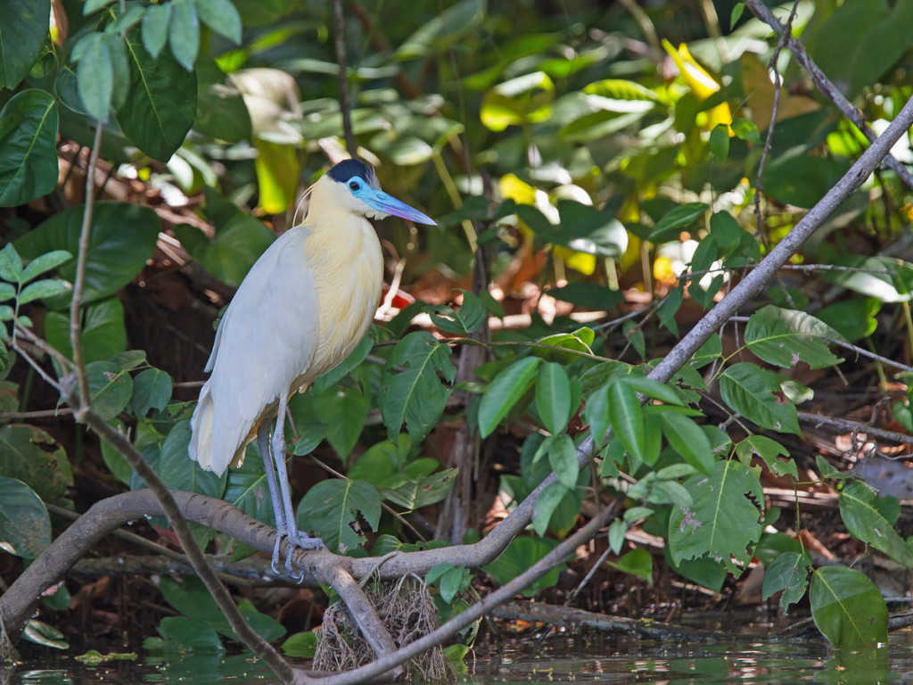 Capped Herons were always a welcomed sight! Photo © Niall Perrins