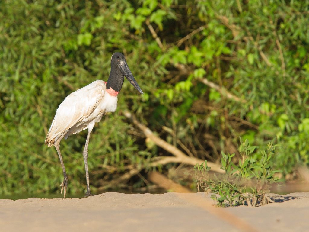 One of the three Jabiru's we managed to find Photo © Niall Perrins