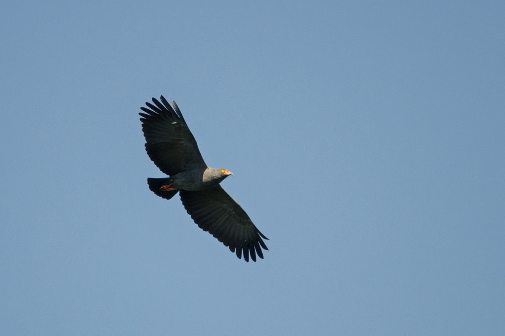 Slender-billed Kite in flight Photo © Dylan Vasapolli