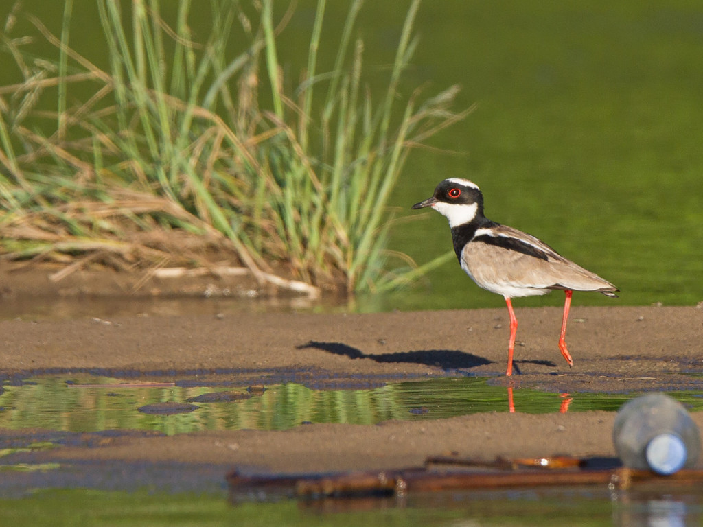 The awesome Pied Lapwing Photo © Niall Perrins