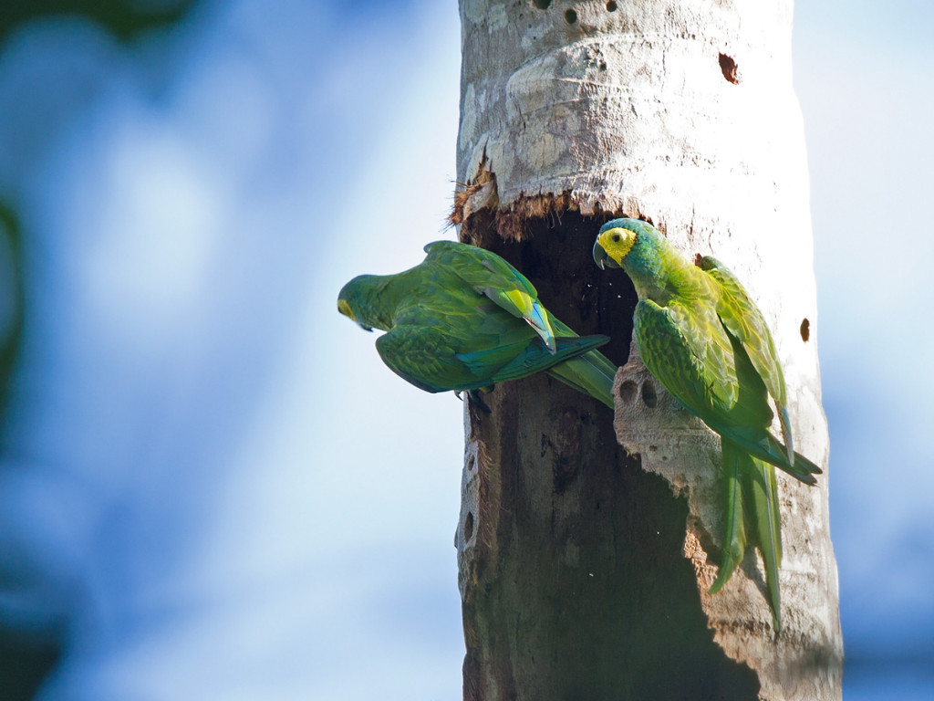 Red-bellied Macaws inspecting a possible nest hole Photo © Niall Perrins