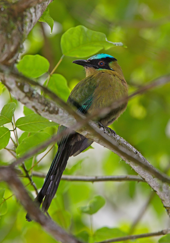 The great Andean (Highland) Motmot Photo © Niall Perrins