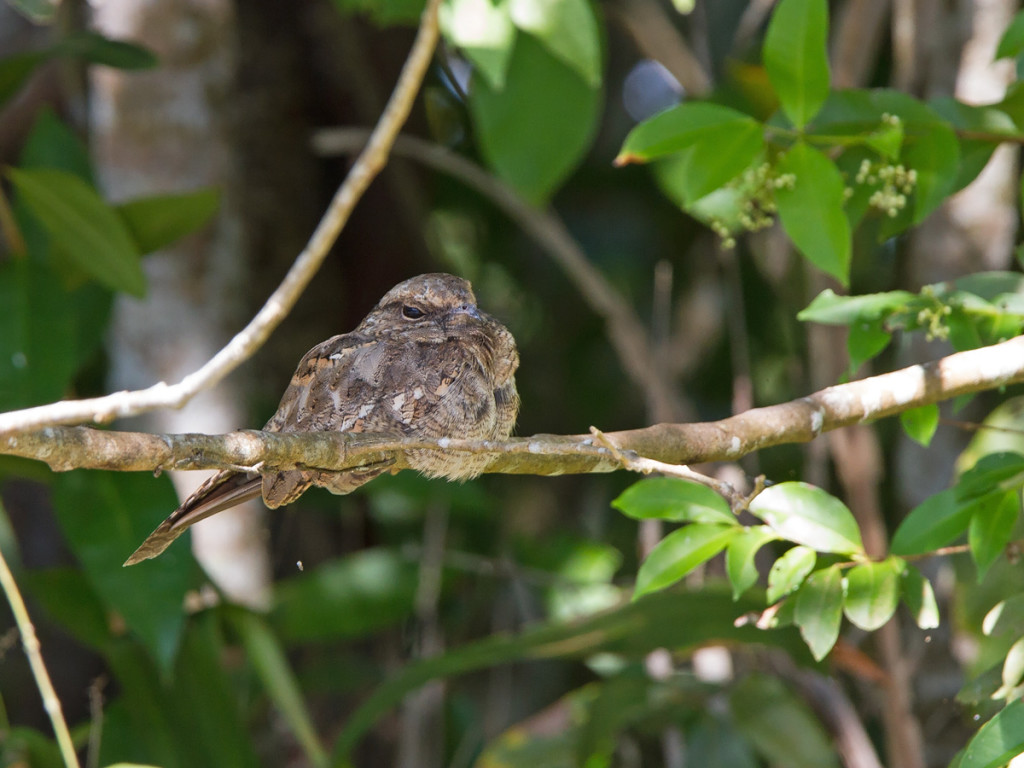 Ladder-tailed Nightjar perched near the shore Photo © Niall Perrins