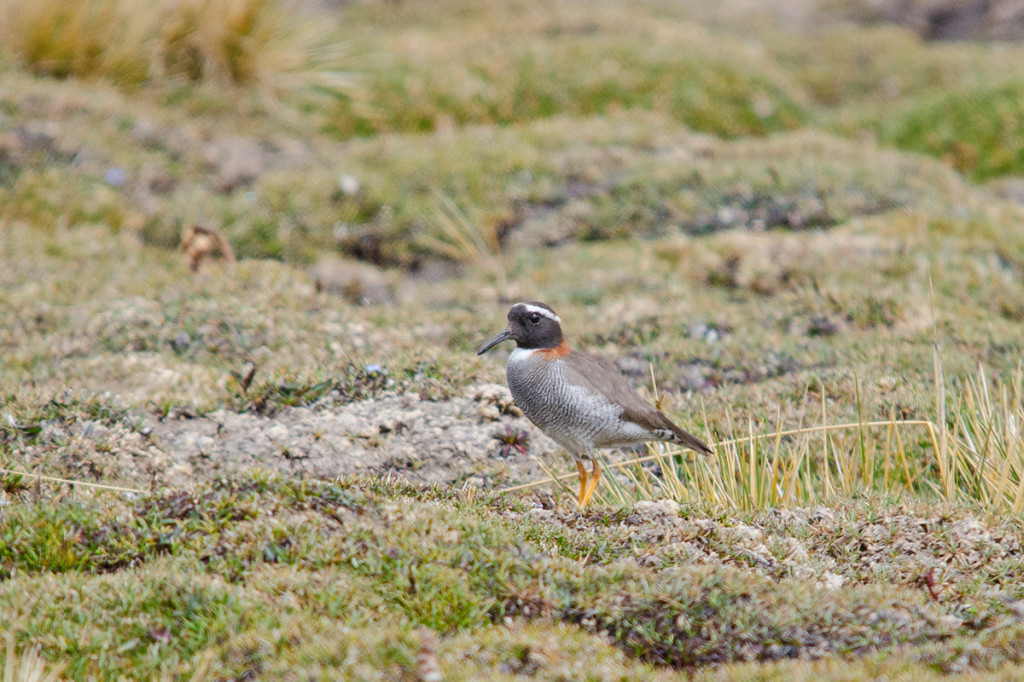 The highly prized Diademed Plover. A definite highlight! Photo © Dylan Vasapolli