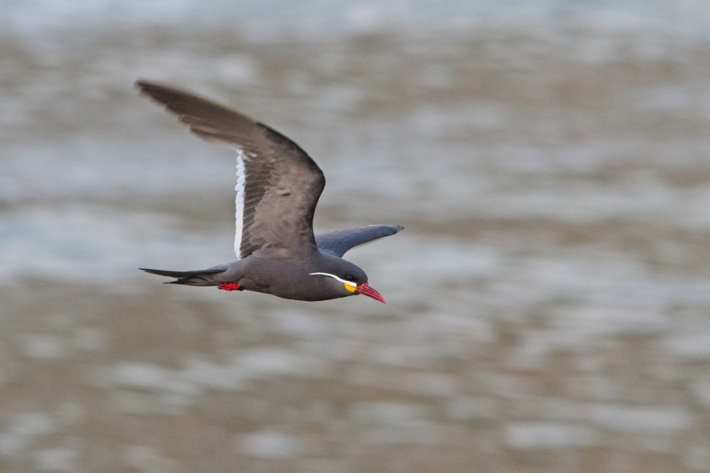 The magnificent Inca Tern! Photo © Dylan Vasapolli