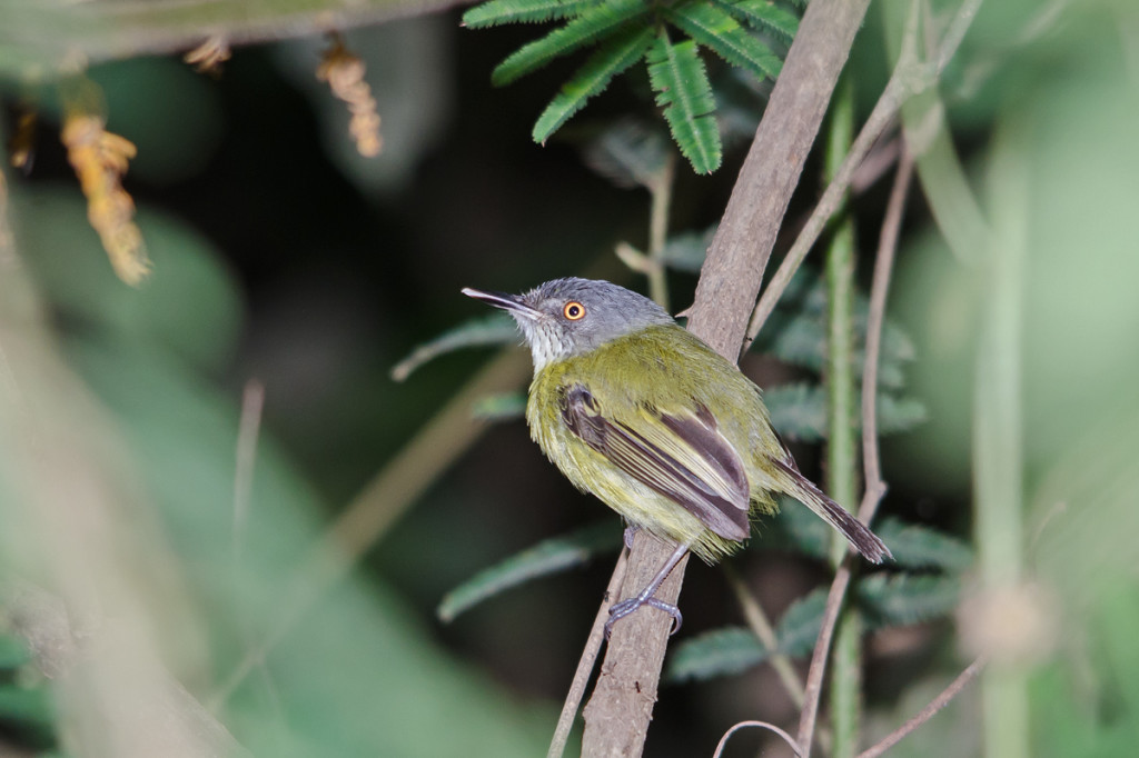 The lively (and tough to photograph) Spotted Tody-Flycatcher! Photo © Dylan Vasapolli
