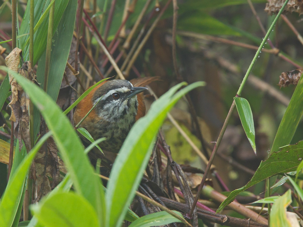 The illustrious (and noisy!) Inca Wren Photo © Niall Perrins