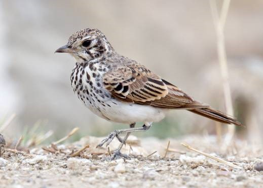 One of the most unique larks of the world, best described by shape and behaviour as a pipit-like lark. It is in the same genus as the similar Rufous-rumped Lark, which occurs further north in Africa. It is not so rare in its range but often the most difficult to find, due to its erratic and nomadic nature of following the rains.