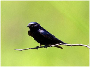 Blue Swallow (photo by John Caddick) breeds in pristine upland grassland of Malawi and adjacent Zambia.