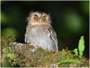 Long-whiskered Owlet from last year's Northern Peru Owls of the World ® tour (photo Alan van Norman)