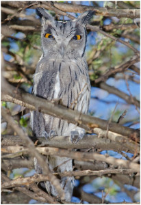 One of the four Southern White-faced Owls seen south of Settlers