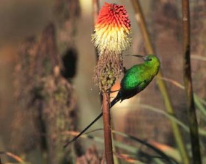Malachite Sunbird can also be seen in Roodepoort but is much more abundant in parts of the Cape and the Drakensberg. (Photo Martin Benadie)