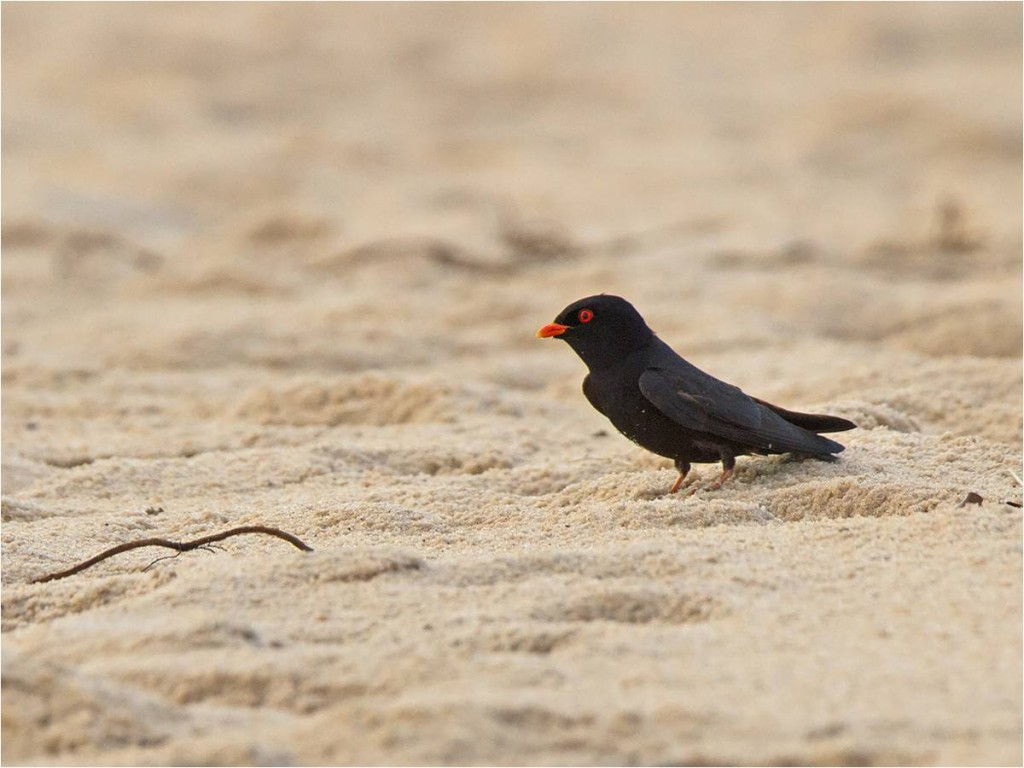 The Data-deficient African River Martin (photo by Niall Perrins) is the only surviving representative of its genus