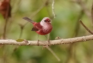 Pink-headed Warbler - we saw good numbers of them on a recent Guatemela birding tour