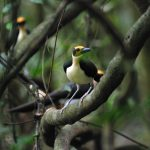 White-necked Rockfowl is one of two threatened, highly localised species of Picathartes – a family endemic to West and Central Africa
