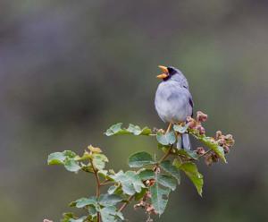 Grey-winged Inca Finch