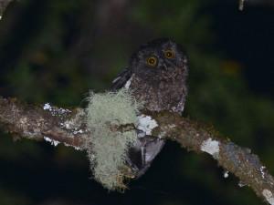 Karthala Scops Owl 2