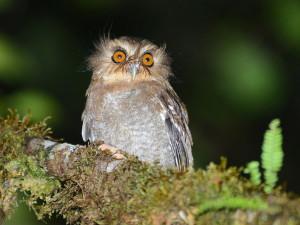 Long-whiskered Owlet (Alan van Norman)