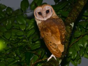 Madagascar Red Owl
