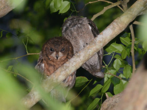Moheli Scops Owl 2