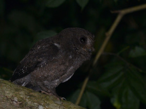 Moheli Scops Owl
