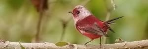 Pink-headed Warbler_guat2