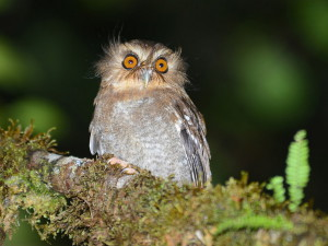 Long-whiskered Owlet - Alan van Norman