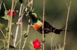Beautiful-Sunbird