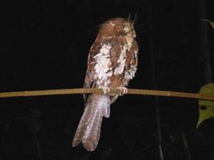 Feline-Owlet-nightjar