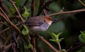 Red-capped Forest Warbler