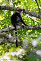 Udzungwa-red-colobus