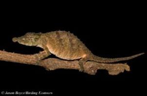 Usambara spiny pygmy chameleon