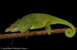 West Usambara blade-horned chameleon