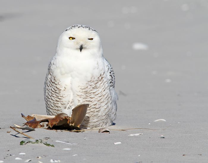 Male Snowy Owls are barred with dark brown when they're young and get whiter as they get older. Females keep some dark markings throughout their live © Earl Harrison