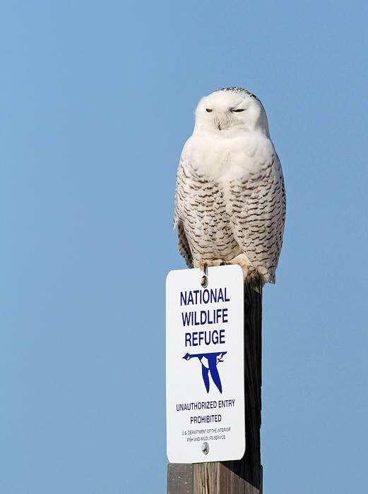 Know your birds - Snowy Owl