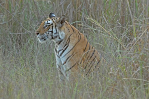 Bengal-Tiger_Devasar
